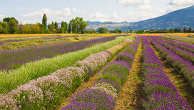 Field of lavender flowers near Assisi Stock Image