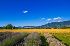 Field of lavender flowers near Assisi in Umbria Stock Images