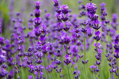 Field lavender flowers. Selective focus new morning natural field lavender flowers day Stock Photo