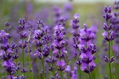 Field lavender flowers Stock Image