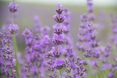 Field lavender flowers. Selective focus new morning natural field lavender flowers day stock image