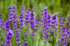 Field lavender flowers. Selective focus new morning natural field lavender flowers day Royalty Free Stock Photos