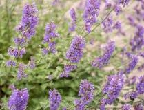 Field of Lavender, Lavandula angustifolia, Lavandula officinalis. Lavandula angustifolia, blooming fragrant lavender perennial plant royalty free stock photo