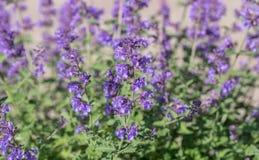 Field of Lavender, Lavandula angustifolia, Lavandula officinalis. Lavandula angustifolia, blooming fragrant lavender perennial plant stock photo