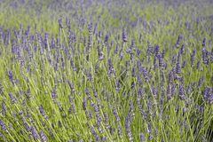 Field of lavender 3 Stock Images