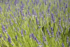 Field of lavender stock images