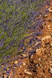 Field of Lavender in Provence, France Stock Photo