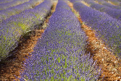 Field of Lavender in Provence, France Stock Images