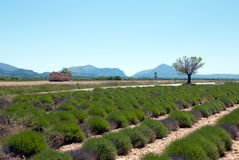 Field of lavender Royalty Free Stock Photography