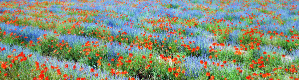 Field of lavender and poppy. Panoramic view, field of violet lavender and red poppy flowers stock image