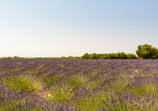 A field of lavender in Provence. A field of lavender in bloom near Valensole in France royalty free stock photos