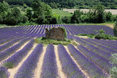 Field of lavender with a ruined rook in the middle. Ruins surrounded by lavender field stock image