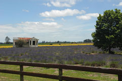 Field of Lavender - with rustic house Stock Images