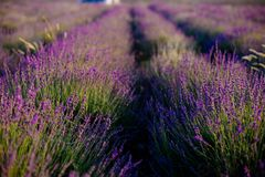 Lavender on the bushes. royalty free stock photos