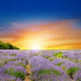 Field with lavender and sun rise. Field with blooming lavender and sunrise stock photography