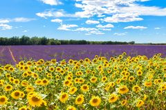 Field with lavender and sunflowers. Summer holidays. Field with lavender and sunflowers. Lavender and sunflowers meadow. Summer holidays concept stock photo