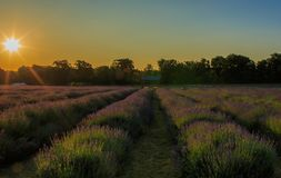 A field of lavender at sunrise. Lavandula is a genus of 47 known species of flowering plants in the mint family, Lamiaceae. It is native to the Old World and is royalty free stock photography