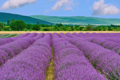 Field of Lavender. View on the Field of Lavender in Prosenik, Bulgaria stock photos