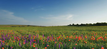 Field of lavender, wheat and poppies Stock Photo