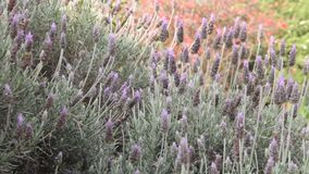 Field of lavenders in the wind of spring stock video footage