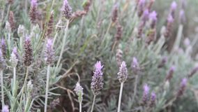 Field of lavenders in the wind of spring stock video