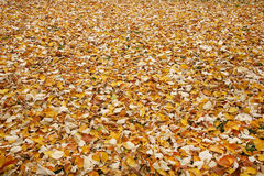 Field of leaf. Autumn field of fallen leaf Stock Images