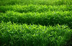 Field of leafy vegetables Royalty Free Stock Photography
