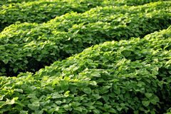 Field of leafy vegetables Stock Image