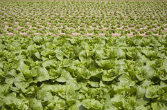 Field of leafy vegetables. With younger vegetables in the background Royalty Free Stock Images