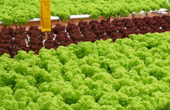 Field of Lettuce Stock Photography