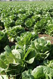 Field of Lettuce Stock Images