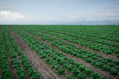 Field of lettuce Royalty Free Stock Photos