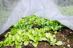 Field lettuce Stock Photography