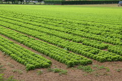 Field of lettuce in the plains in summer Royalty Free Stock Photos