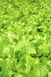 Field of lettuce salad Stock Photos