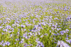 Field of lila flowers and green foliage Royalty Free Stock Image