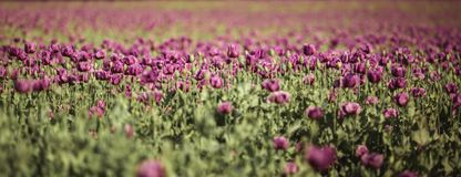 Field of lilac Poppy Flowers in sunlight in early Summer royalty free stock photography