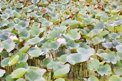field liljavatten Arkivfoto