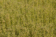 Field of linen Stock Photography