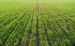 Field with lines of green shoots, Stock Images
