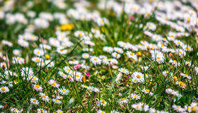 Field with little white chamomile. Closeup shoot with shallow depth of field Stock Image