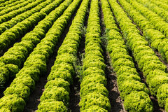 Field with Lollo Bianco lettuce Royalty Free Stock Images