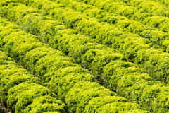 Field with Lollo Bianco lettuce Royalty Free Stock Photo