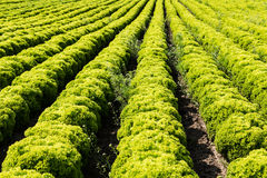 Field with Lollo Bianco lettuce Royalty Free Stock Image
