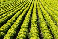 Field with Lollo Bianco lettuce Stock Photos