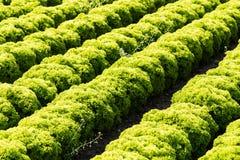Field with Lollo Bianco lettuce Stock Photo