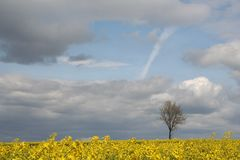 Field and lonely tree. Landscape - yellow field and lonely tree Stock Photo