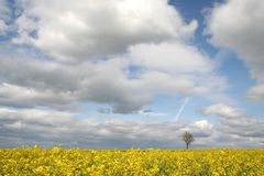 Field and lonely tree. Landscape - yellow field and lonely tree Royalty Free Stock Photo