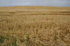 Field of long dry grass Stock Photos