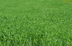 Field of long green grass on a sunny day Royalty Free Stock Photo